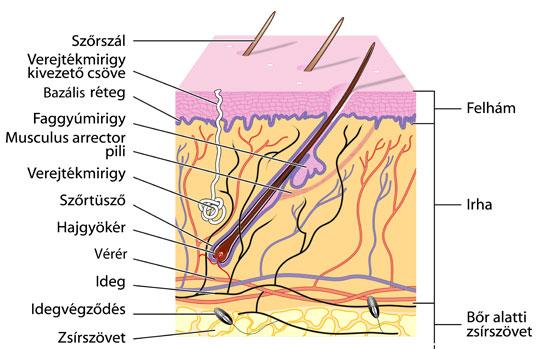 A bőr rétegei