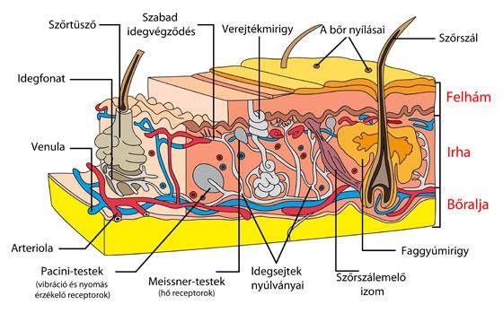 chondromalacia 3 fokos térdízület-kezelés