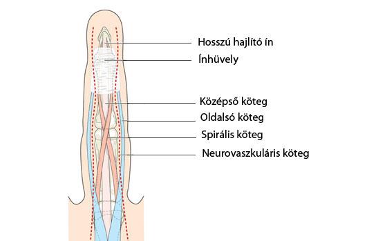 Ujj anatómiája