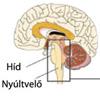 Az agy légzőközpontja