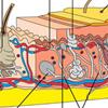 Bőr anatómiája