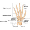 Kéz csontjai