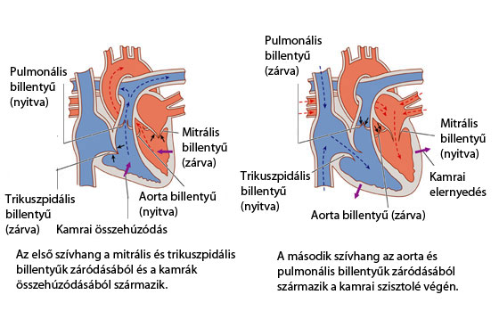 Szívritmus