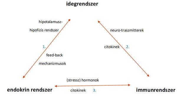 A PNEI rendszer elemei közti kapcsolat
