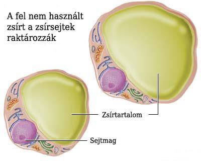 Zsírsejtben felhalmozódó zsír sémás ábrázolása