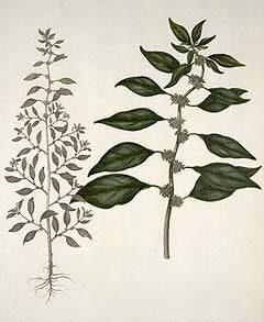 Ágas falgyom - Parietaria erecta - Forrás: http://www.liberherbarum.com