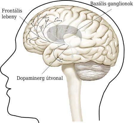 A jutalmazási rendszerben részvevő dopaminerg pályák sémás ábrázolása