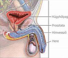Férfi nemi szervek sémás ábrázolása; Forrás: http://www.tao-masszazs.hu