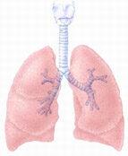 A légzőszervek sémás ábrázolása; Forrás: www.ciggyfree.com