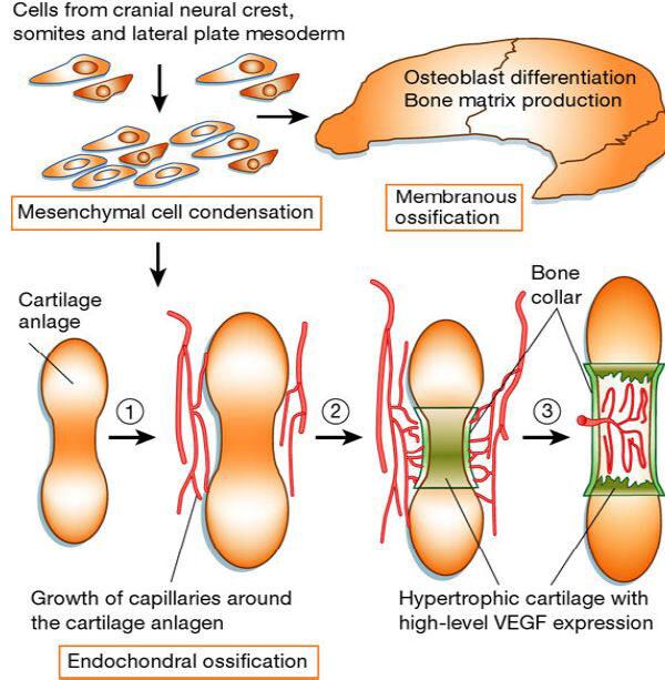 az ölcsont ízülete fáj intervertebrális artrosis kezelés
