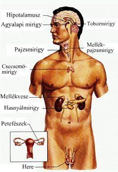 Az endokrinrendszer működéséről egyszerűen