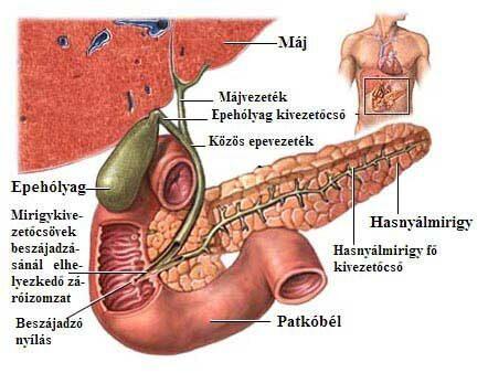 Az epehólyag, az epevezetékek és a hasnyálmirigy anatómiája.; Forrás: http://medicalimages.allrefer.com