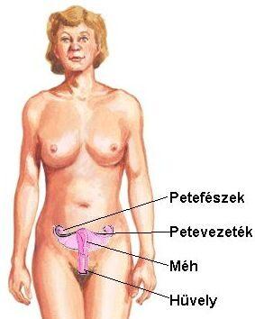 A belső női nemi szervek