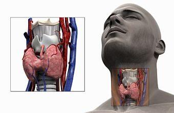 A pajzsmirigy anatómiája