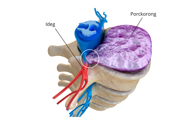 A gerinccsigolyák és a porckorong anatómiája