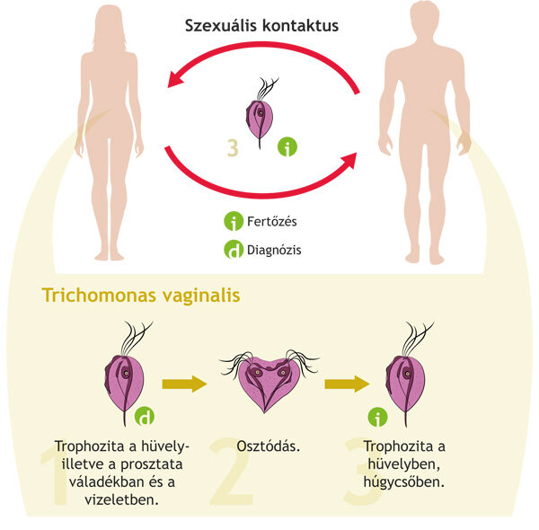 Trichomoniasis - A trichomonas vaginalis életciklusa